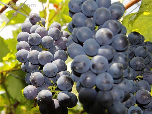夏季葡萄飘香来 如何选购葡萄