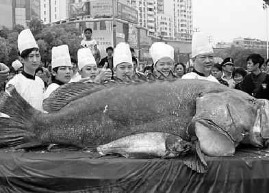 酒家购重达631斤超大石斑鱼 可招待近800人图