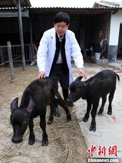 中国首批转基因水牛诞生 转基因动物食品尚需评估